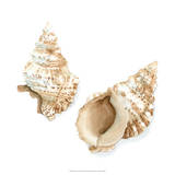 Watercolor Shells VII Giclee Print by Megan Meagher