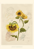 Romantic Sunflower I Prints by Jade Reynolds