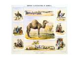 The Camel, C1850 Giclee Print by Benjamin Waterhouse Hawkins