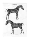 Anatomy of a Horse, 19th Century Giclee Print by Archibald Webb