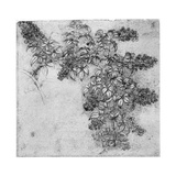 Study of a Blackberry Branch, Late 15th or Early 16th Century Giclee Print by  Leonardo da Vinci