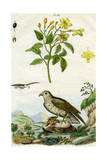 Jasmine and Short-Toed Eagle, 18th or 19th Century Giclee Print by  Pedretti