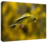 finch leapinga1 Gallery-Wrapped Canvas Stretched Canvas Print