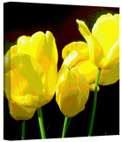 Yellow Tulips 2 Gallery-Wrapped Canvas Stretched Canvas Print