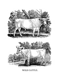 British Wild or Park Cattle, 1790 Giclee Print by Thomas Bewick