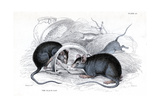 Engraving of Black Rat Caught in Trap, 1838 Giclee Print by William Jardine