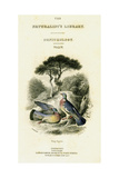 The Naturalist's Library, Ornithology Vol V, Ring Pigeon, C1833-1865 Giclee Print by William Home Lizars
