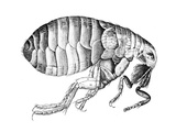 Flea, Wingless Bloodsucking Parasitic Insect, 1665 Giclee Print