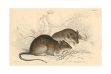 Brown Rat (Rattus Rattu), 1828 Giclee Print