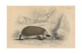Hedgehog (Erinaceus Europea), 1828 Giclee Print