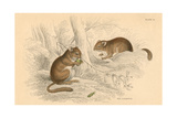 Common Dormouse (Muscardinus Arvellanariu), Hibernating Rodent, 1828 Giclee Print