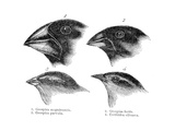 Four or the Species of Finch Observed by Darwin on the Galapagos Islands Giclee Print