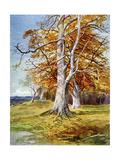 Beech Tree, Autumn, 1900 Giclee Print by John MacWhirter