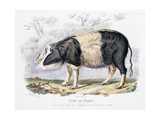 Old English Breed of Pig, 1842 Giclée-Druck