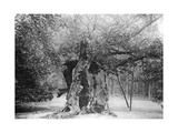 The 'Shambles' Oak, Sherwood Forest, 1904 Giclee Print