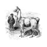 Llamas, C1880 Giclee Print