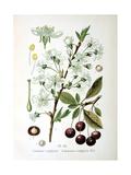 Sour Cherry, 1893 Giclee Print