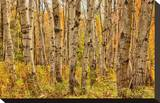 Birch Trees, Acadia Stretched Canvas Print by Michael Hudson