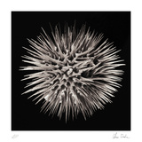 Datura II Collectable Print by Chris Dunker