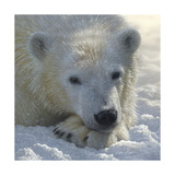 Polar Bear Cub Print by Collin Bogle