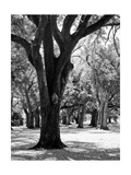 Oak Tree Study Metal Print by Boyce Watt
