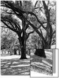 Oak Tree Study Prints by Boyce Watt