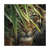 Tiger Eyes Giclee Print by Collin Bogle