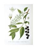 Bird Cherry, 1893 Giclee Print