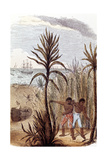 Slaves Cultivating Sugar Cane in the West Indies, 1852 Giclee Print