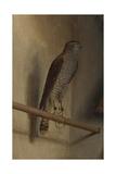 A Sparrowhawk, 1510S Giclee Print by Jacopo De' Barbari