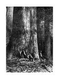 Giant Eucalyptus, Australia, 1886 Giclee Print by  Taylor