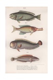 Green Parrotfish. Indian Longmouth, Rasirnesser, Wrasse, C.1850S Giclee Print