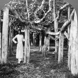 Among the Roots of a Banyan Tree, Calcutta, India, 1900s Photographic Print