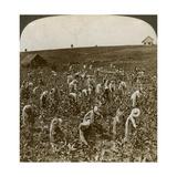Tobacco Field, Montpeller, Jamaica, 1900 Giclee Print by  Underwood & Underwood
