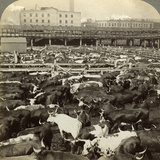 Cattle, Great Union Stock Yards, Chicago, Illinois, USA Reproduction photographique par  Underwood & Underwood