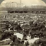 Cattle, Great Union Stock Yards, Chicago, Illinois, USA Photographic Print by  Underwood & Underwood