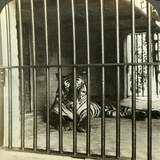Captured Man-Eating Tiger Blamed for 200 Deaths, Calcutta, India, C1903 Photographic Print