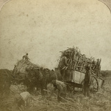 Loading Cane, Sugar Plantation, Louisiana, Usa Photographic Print
