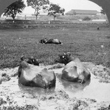 Buffalo 'Wallow, Burma, 1908 Photographic Print