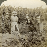 Hop Picking, Eugene, Oregon, Usa Photographic Print by  Underwood & Underwood