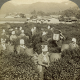 Girls Picking Tea, Uji, Japan Fotodruck von  Underwood & Underwood