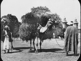 Camels Carrying Fodder, Egypt, C1890 Photographic Print by  Newton & Co