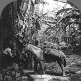 Harvesting Bananas, Costa Rica, 1909 Photographic Print