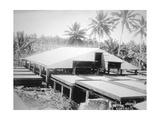 Drying Copra, Solomon Island, Fiji, 1905 Giclee Print