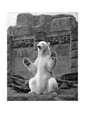 Polar Bear on the Mappin Terrace at London Zoo, 1926-1927 Giclee Print by  McLeish