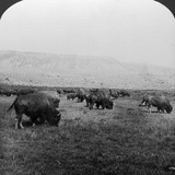 Buffalo, Yellowstone National Park, Usa Photographic Print by HC White