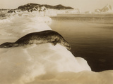 A Weddell Seal About to Dive at West Beach, Cape Evans, Antarctica, 1911 Reprodukcja zdjęcia autor Herbert Ponting
