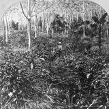 A Coffee Plantation, Jamaica, C1900s Photographic Print by CH Graves