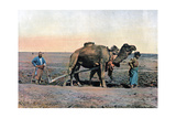 Farm Labourers Ploughing with a Camel, Caucasus, C1890 Giclee Print by  Gillot