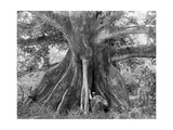 Tom Cringle's Cotton Tree, Spanish Town Road, Jamaica, C1905 Giclee Print by Adolphe & Son Duperly